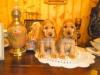 couple-golden-biscotte-1-mois-et-demi-2009-008-web